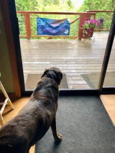 Barrie's dog Hana, wanting to go outside