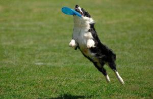 A dog catches a frisbee - Britannica ImageQuest
