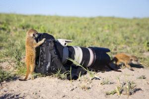 Meerkat investigating a camera in Botswana - Britannica ImageQuest